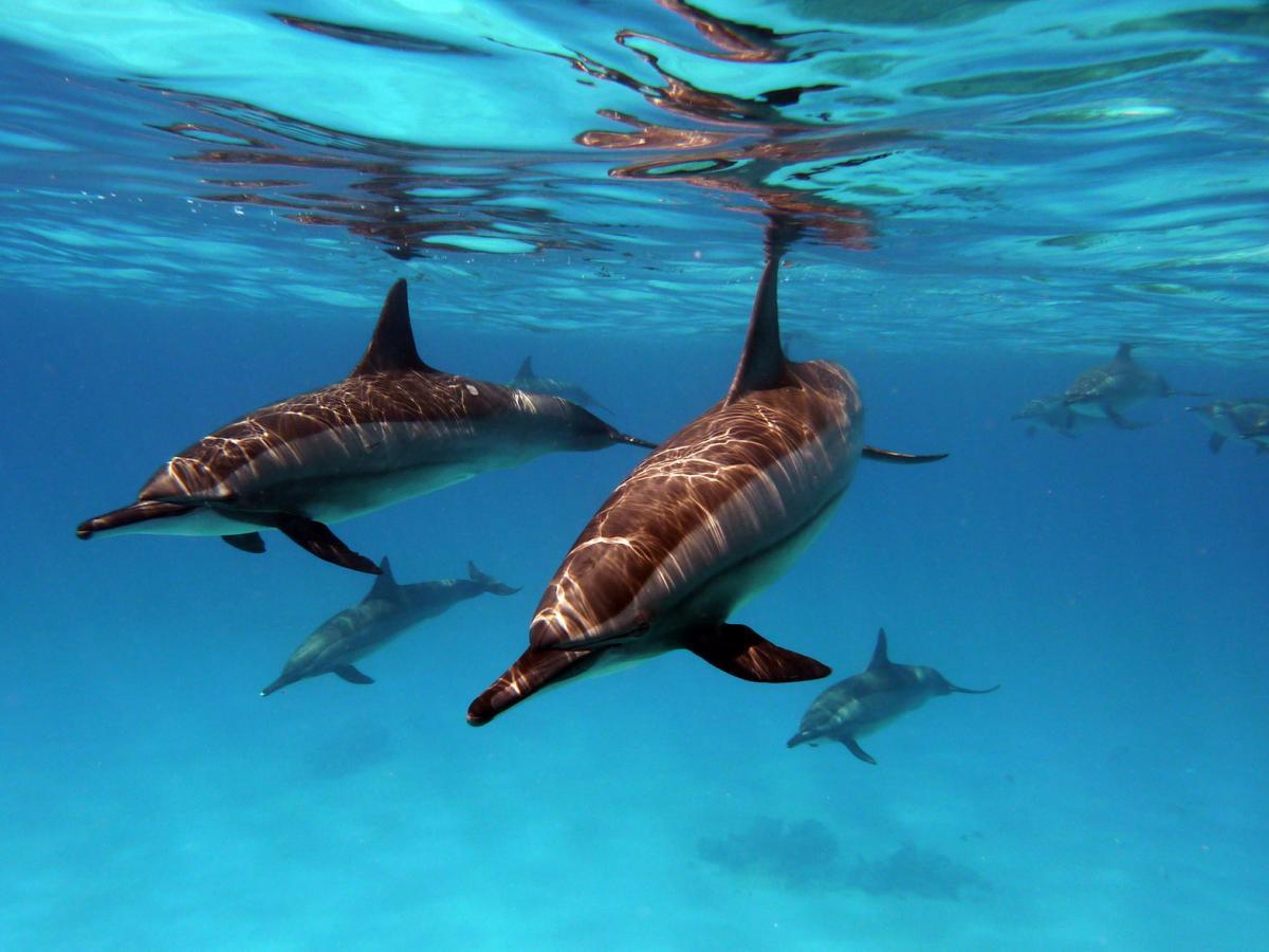 Delfiny na Shaab Samadai