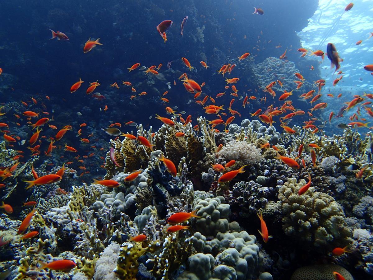 Fairy Basslets na Morzu Czerwonym