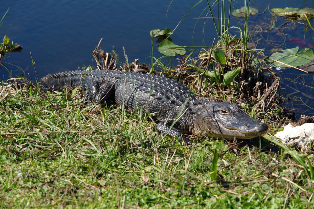Aligator w Everglades